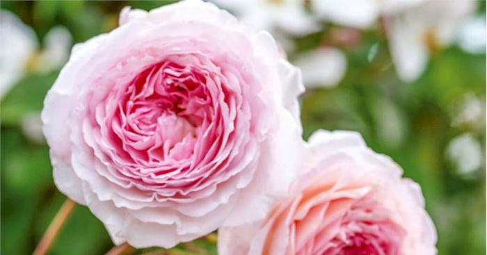 david austin rose